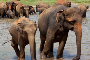 Elephants, Saving Elephants and Habitat